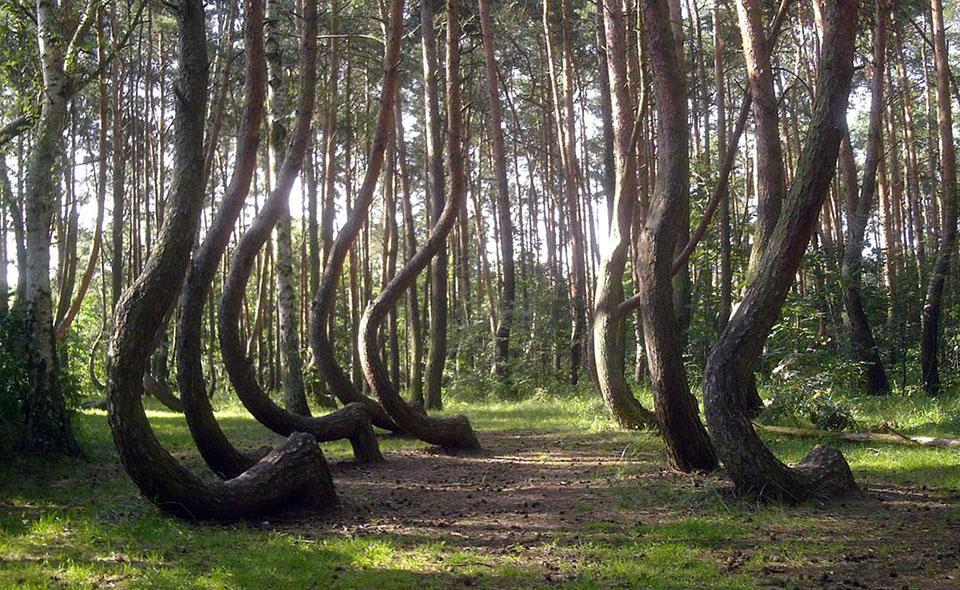 La-forêt-tordue-District-de-Gryfino-Pologne