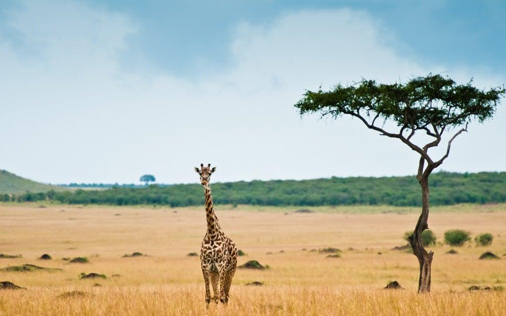 giraffe-wallpaper-africa-hd