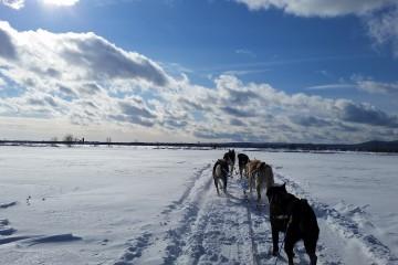 chiens de traineaux quebec