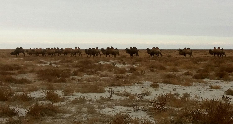 Troupeau de chameau au Kazakhstan