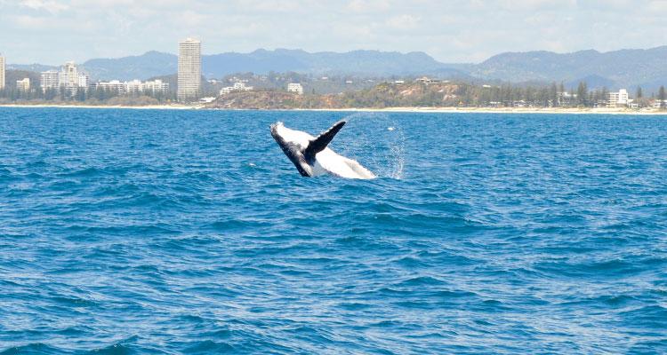 Il faut absolument aller voir la migration des baleines si vous êtes là durant la bonne saison