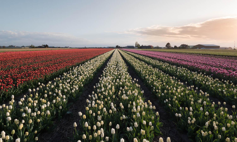 Keukenhof et ses tulipes
