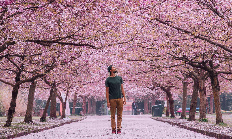 Le Cimetière deBispebjerg et ses cerisiers