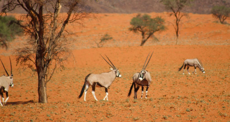 oryx dans le namibrand road trip namibie