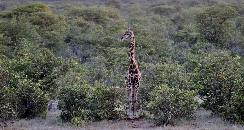 girafe road trip en namibie
