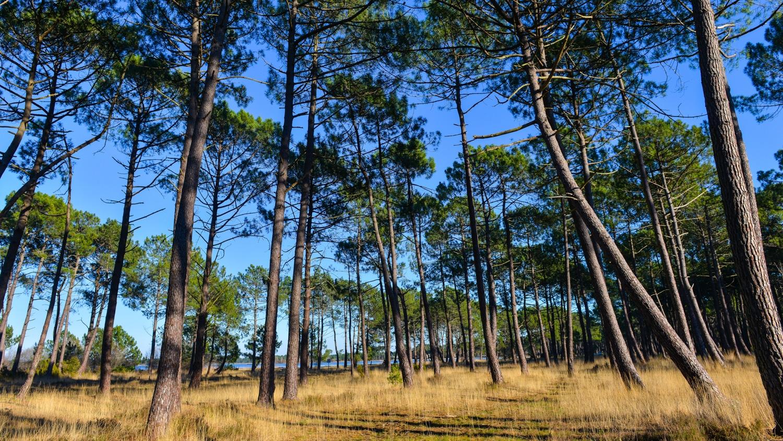Maritime pines-Landes, France, Europe
